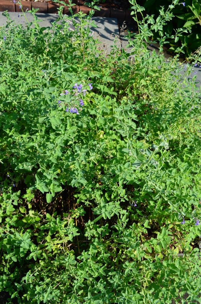 Calamintha nepta found in the Healing Garden