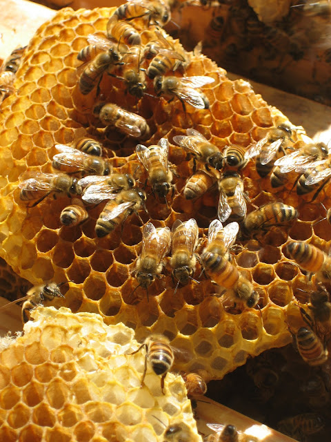 Worker bees on comb. Taken by Grace Chapman