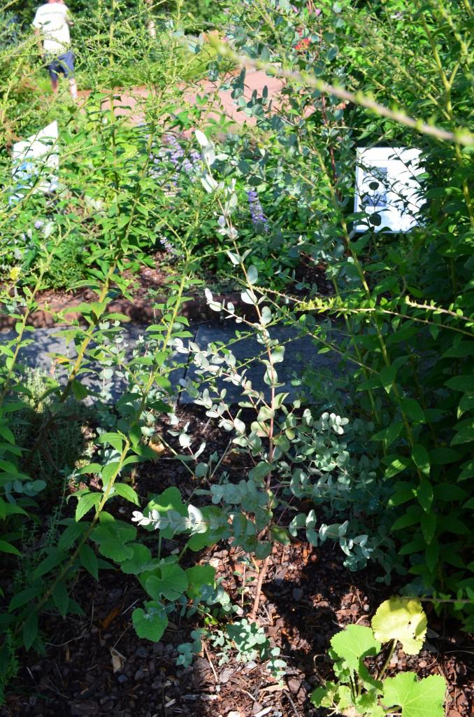 Thymus vulgaris found in the Healing Garden