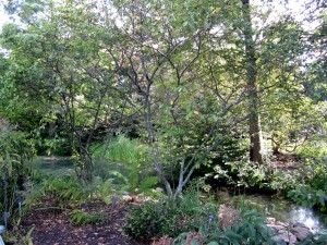 Allegheny serviceberry (Amelanchier laevis) in the newly renovated West Island Garden.