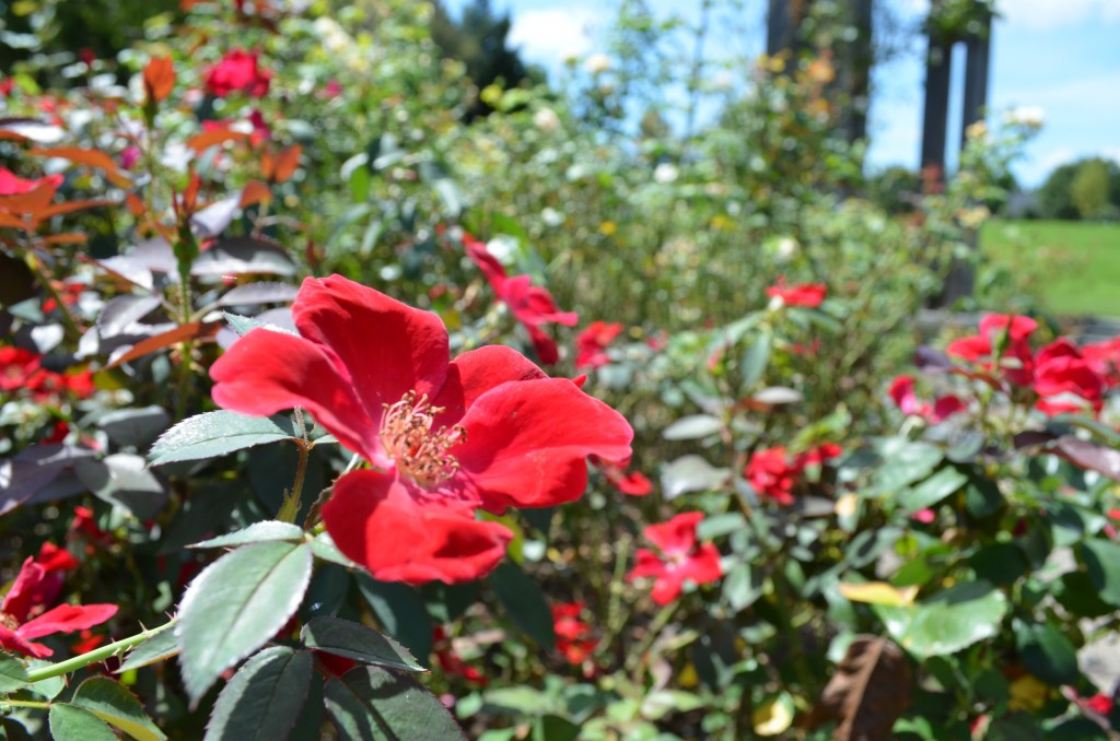 Clue #1 Shrub Rose