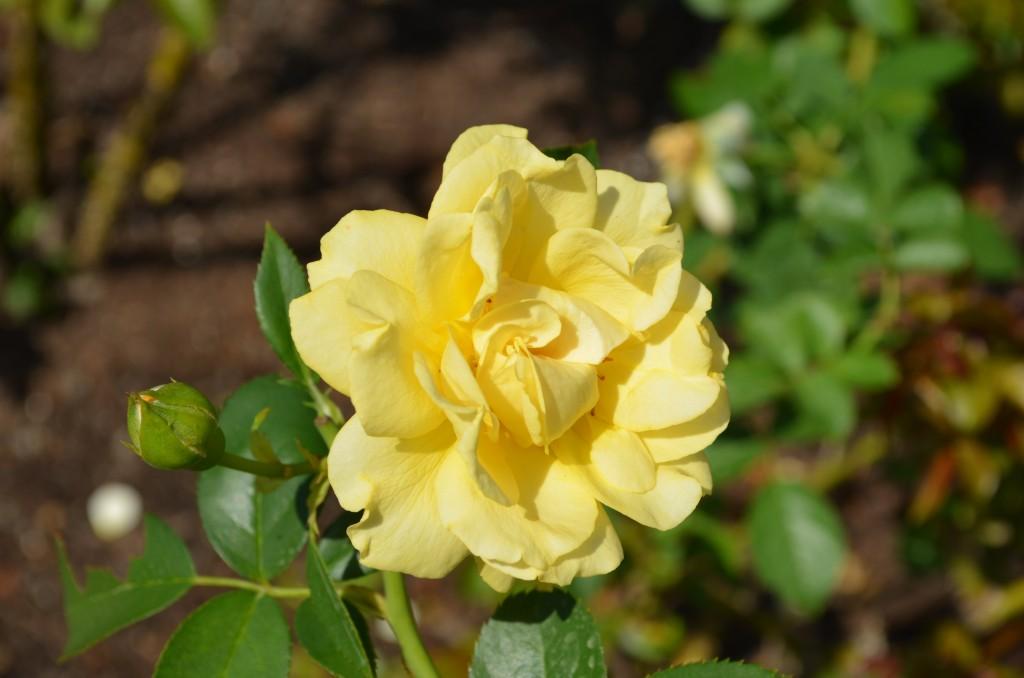 Clue #5 Floribunda Rose