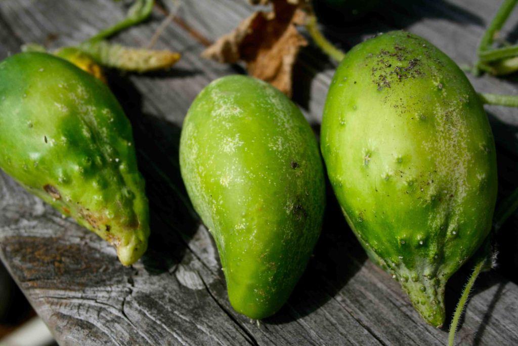 Dwarfed cucumbers