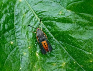 An adult squash vine borer. photo by Brian Vick