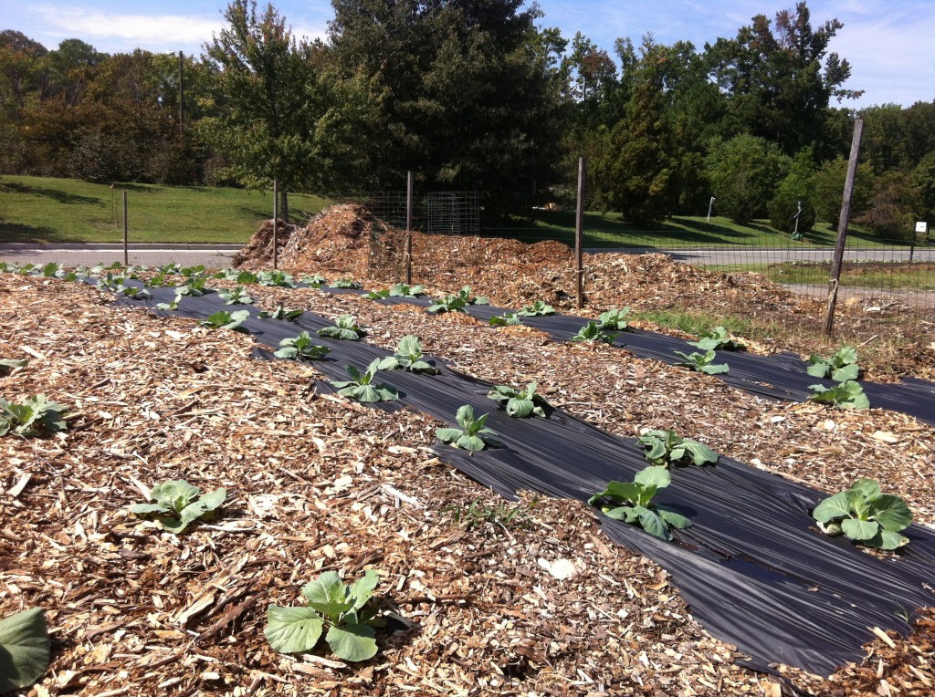 Cabbages growing for a fall harvest in the Community Kitchen Garden