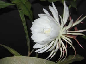 Night Blooming Cereus photo by Dot Kent