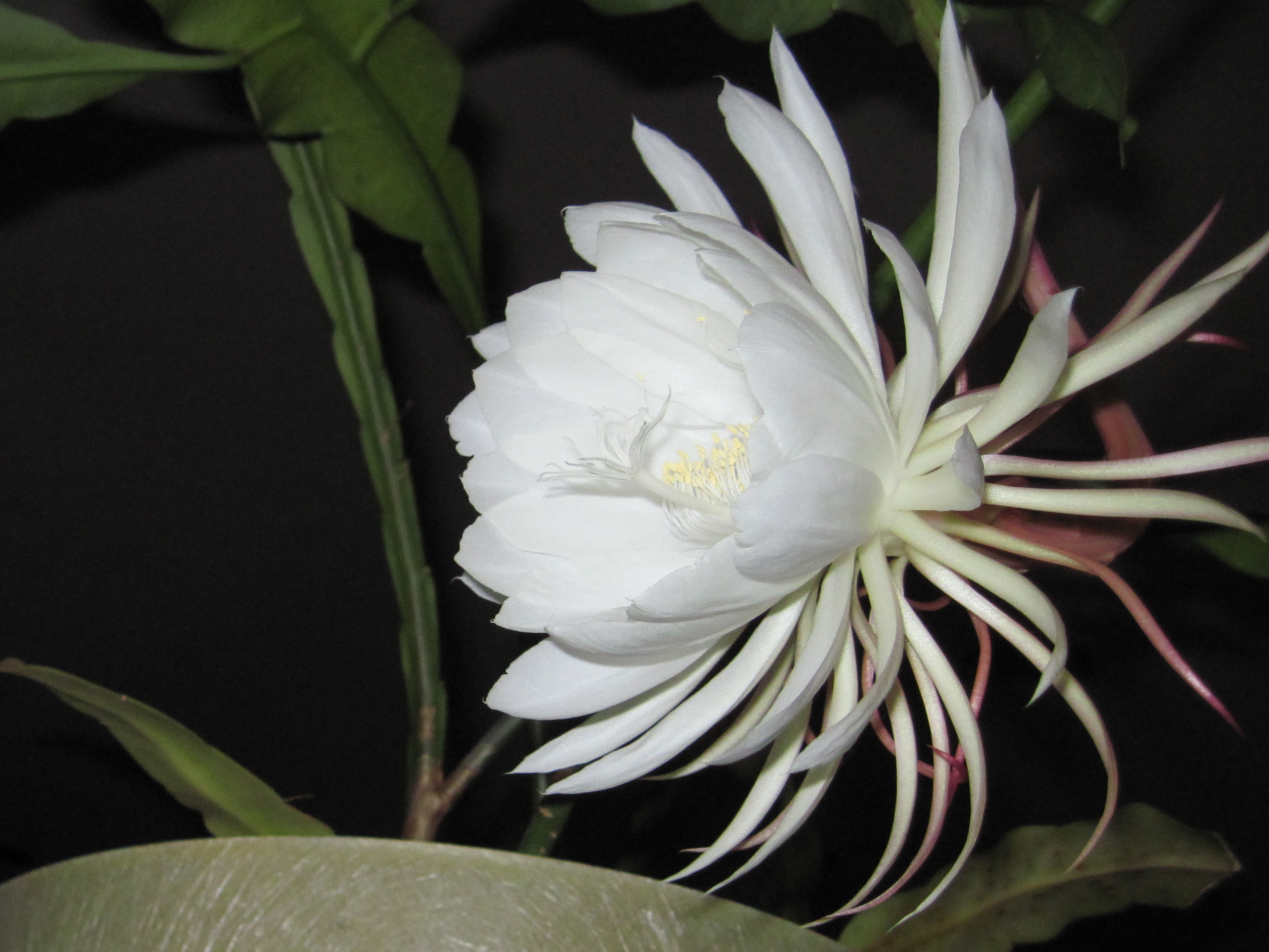 Southern traditions of night blooms bloom parties for A flower that only blooms at night