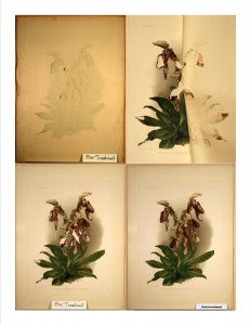 Restoration of Cypripedium morganiae burfordiense