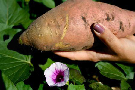 Here is the pretty side of our giant Beauregard sweet potato.