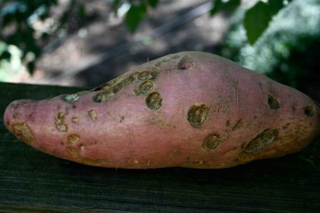 …and here is the not-so-pretty side.of our giant Beauregard sweet potato.