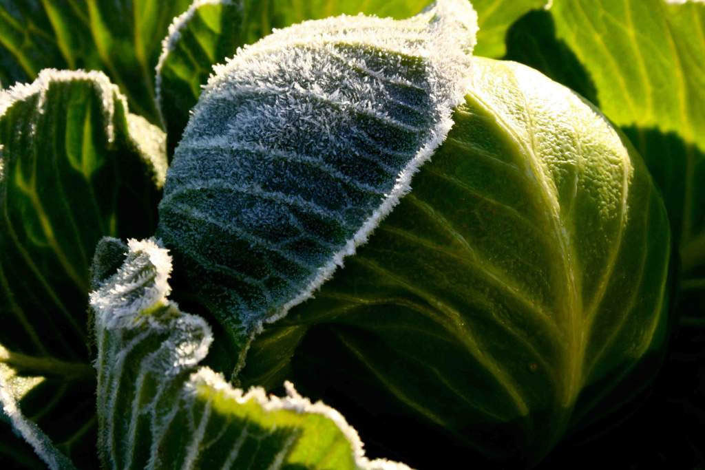 A bit of a deep freeze overnight 12/13/12, but this cabbage can shake off the cold.