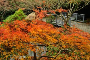 A Japanese Maple in orange. photo by Don Williamson Photography