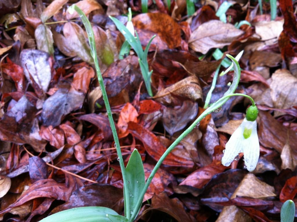 Snowdrop; Galanthus elwesii