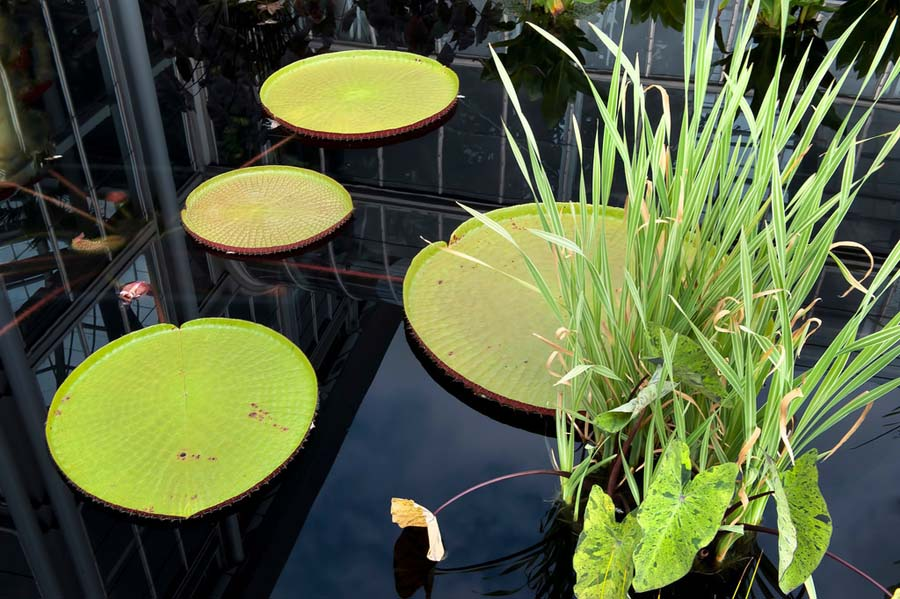 Green lily pads of Victoria amazonica.