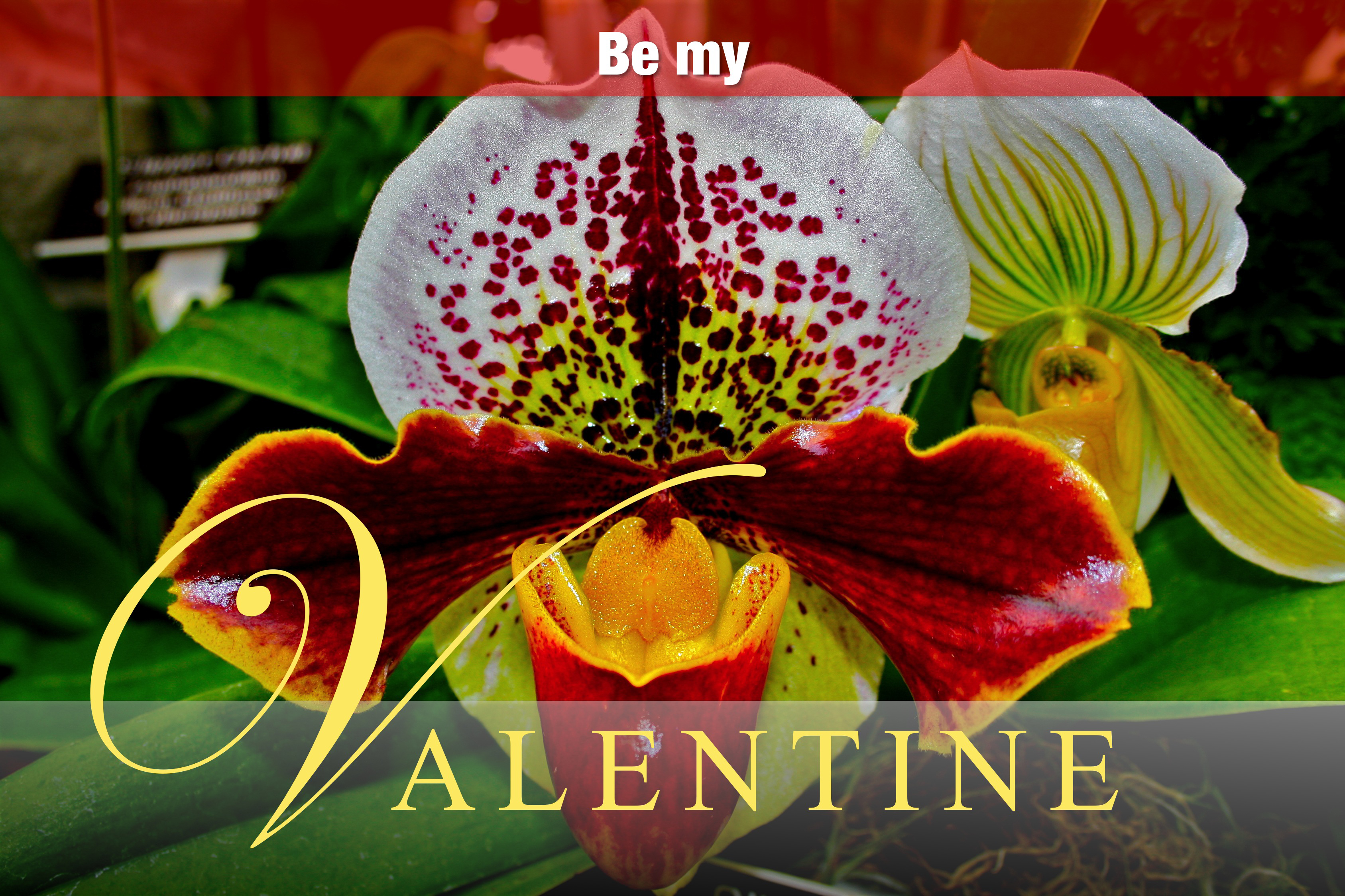 Be My Valentine Orchid
