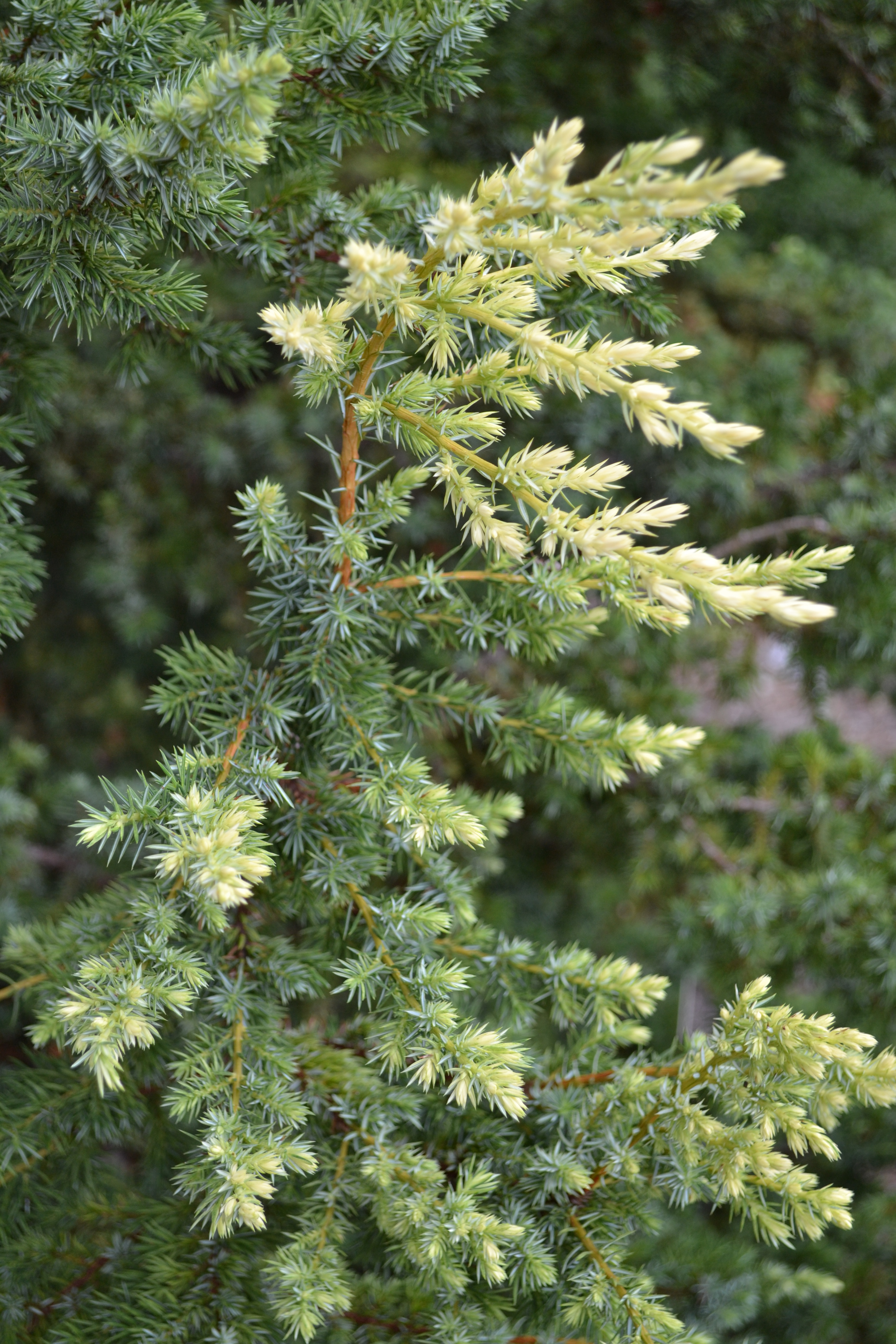 The Margaret Johanna Streb Conifer Garden blends textures and foliage colors to create year-round interest at Lewis Ginter Botanical Garden.