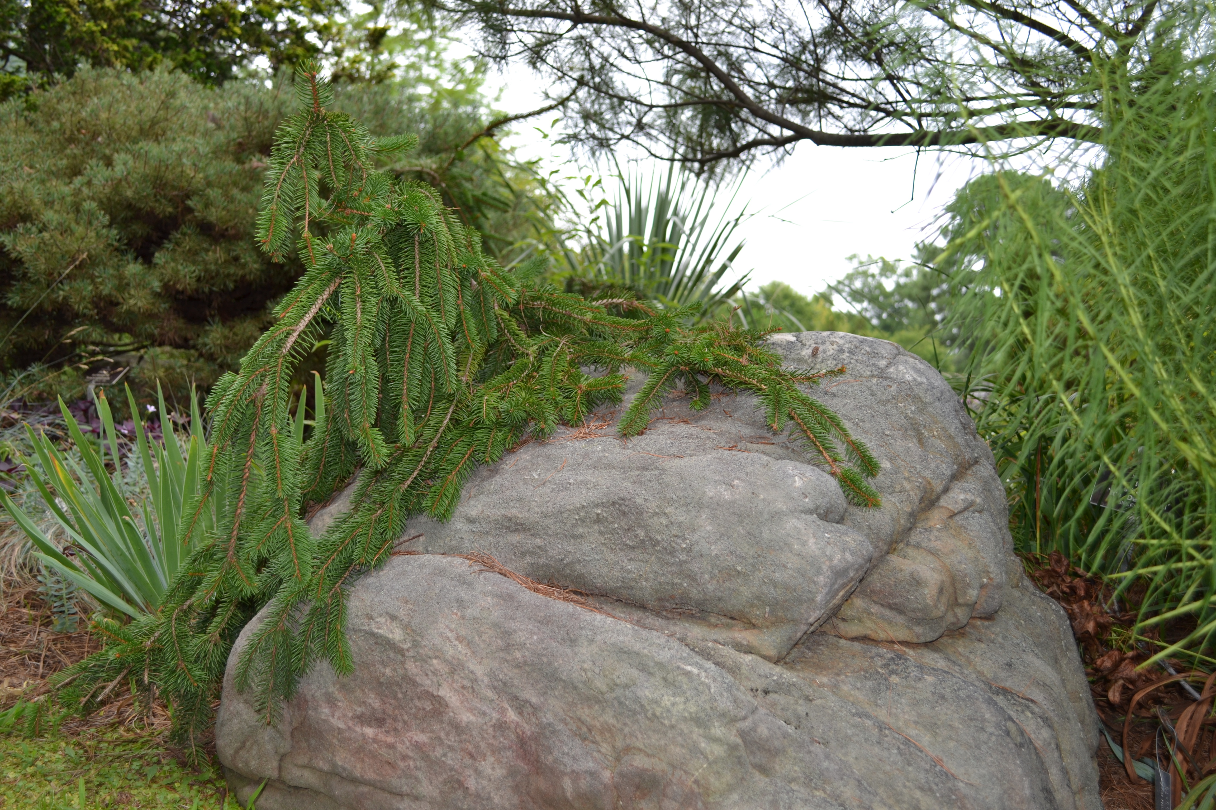 Picea abies 'Ziegler's Weeping.' photo by Grace Chapman