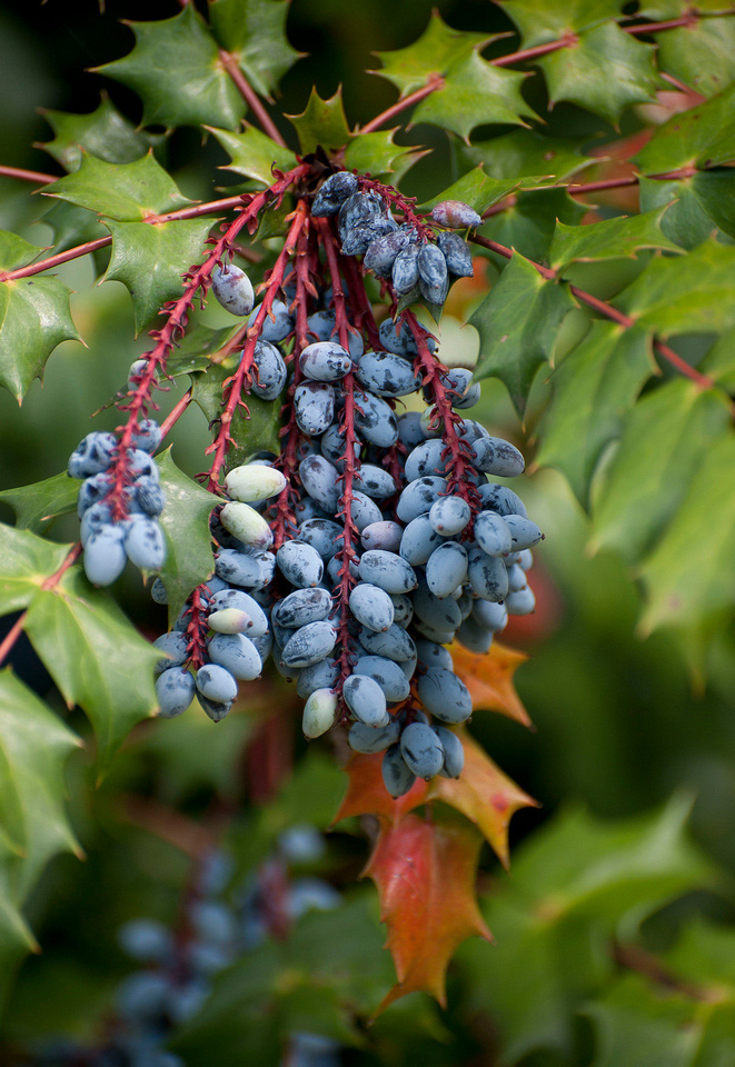 Mahonia berries. Photo by Don Williamson.