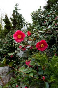 The camellia originated in Asia, represented by this ornamental stone lantern in the Asian Valley at Lewis Ginter Botanical Garden.