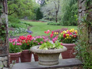 Flagler tulips