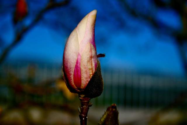 Saucer magnolia or Magnolia × soulangeana photo by Brian Vick.
