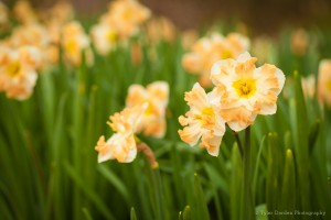 Narcissus 'Cum Laude' one of the many daffodils in the Garden's collection. Photo by Tyler Darden