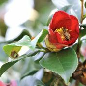 Bees seem to love camellias as much as humans do. Photo by Don Williamson.