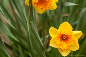 Daffodils are just one of the many collections here at Lewis Ginter Botanical Garden. Photo by Tyler Darden