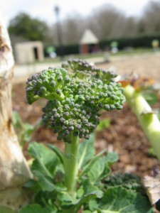 Broccoli in the Children's Garden: Not just a beautiful bud!