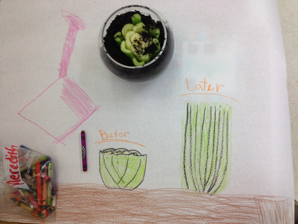 A child's illustration of celery & how it will grow from food scraps.