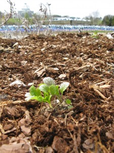 Tiny mustard greens planted by first graders at the entrance to the Children's Garden. Come check them out!