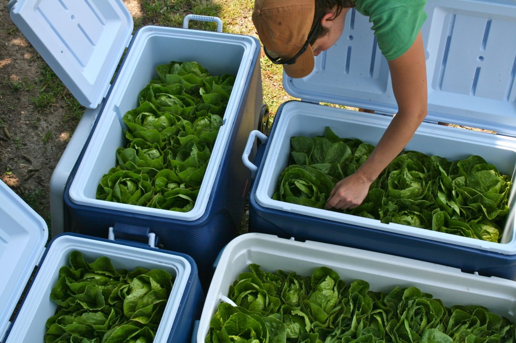 Gardener Laura Schumm puts the finishing touches on coolers full of lettuce. We keep the salad greens chilled immediately after harvest.