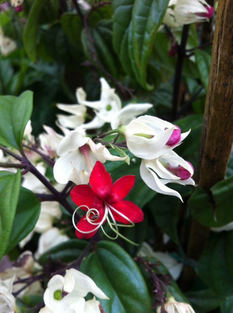 Clerodendrum thomsoniae, bleeding heart vine, is showy & butterflies like its nectar.
