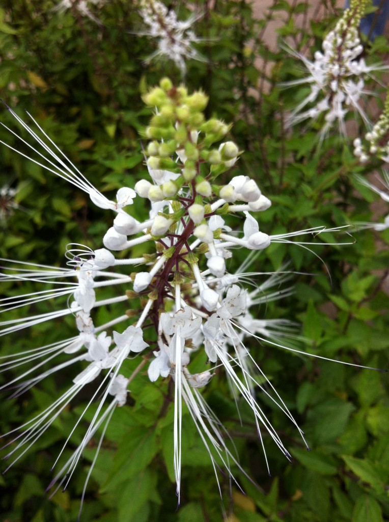 Cat's whiskers plant aka Orthosiphon stamineus will be making an appearance at Butterflies LIVE! Who know Butterflies love cat's whiskers!