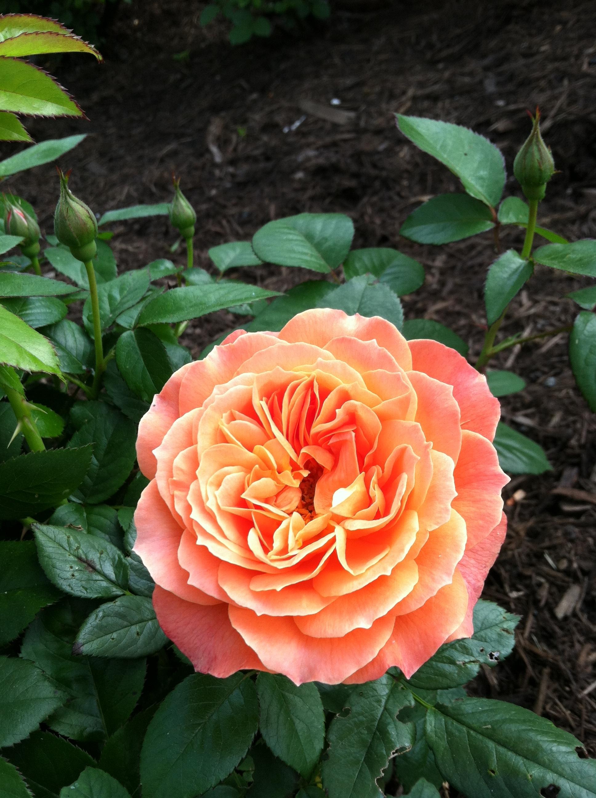 Simple Rose Garden: 'Livin' Easy' In The Rose Garden This Spring