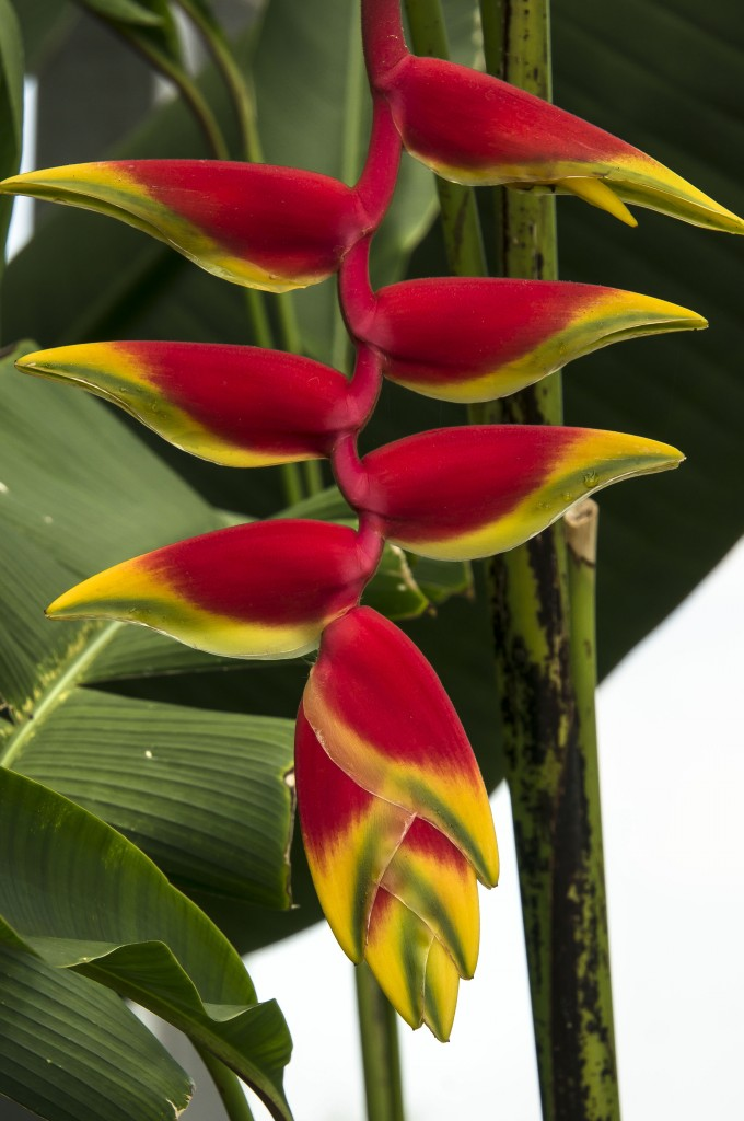Lobster Claw Flower, Heliconias