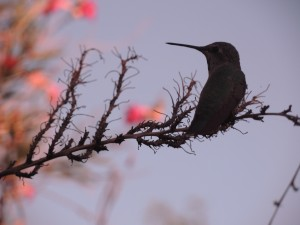 Hummingbird in the desert