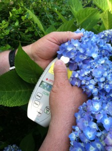 Dr. Henry Schreiber takes color intensity readings on Hydrangea sepals at Lewis Ginter Botanical Garden using a re-calibrated chlorophyll meter