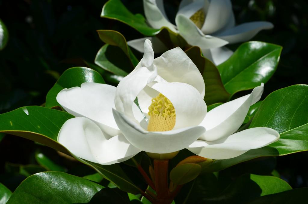 'Southern Magnolia,' Magnolia grandiflora