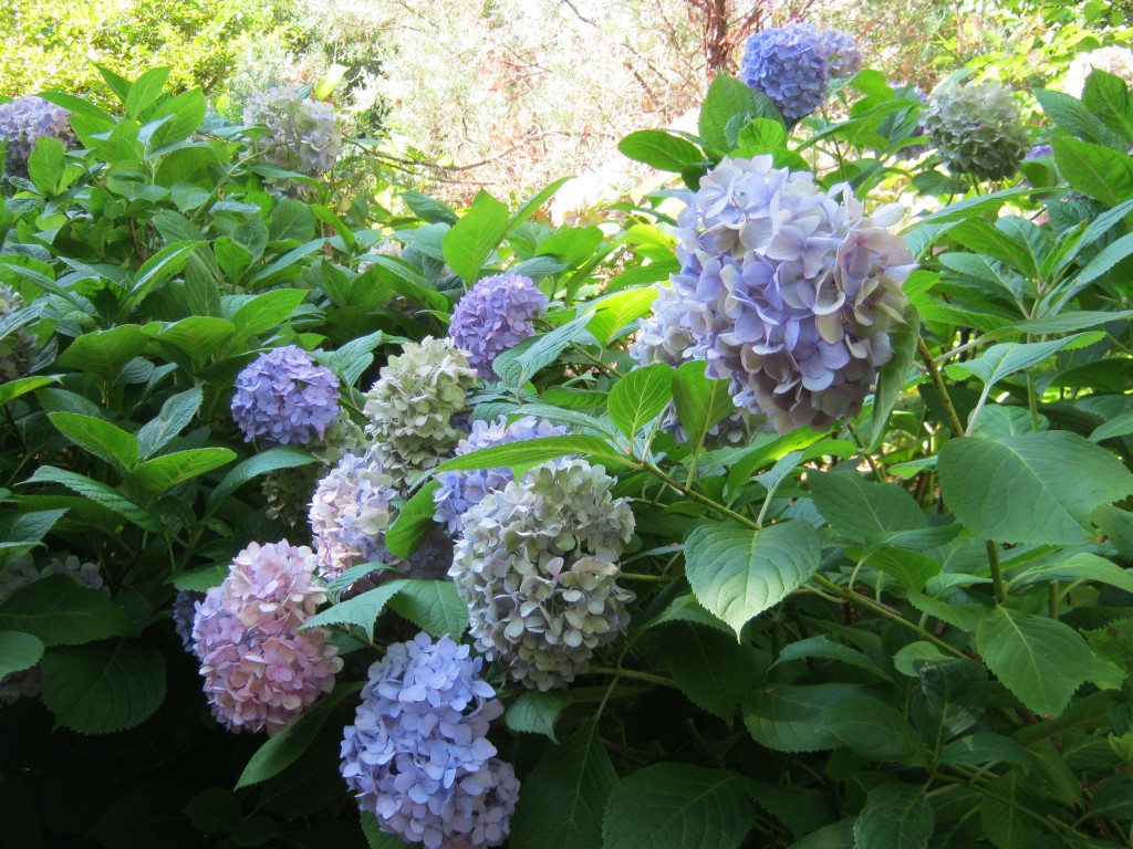 """The classic """"Nikko Blue"""" hydrangea has a striking mophead bloom whose color can be manipulated by altering the soil pH."""