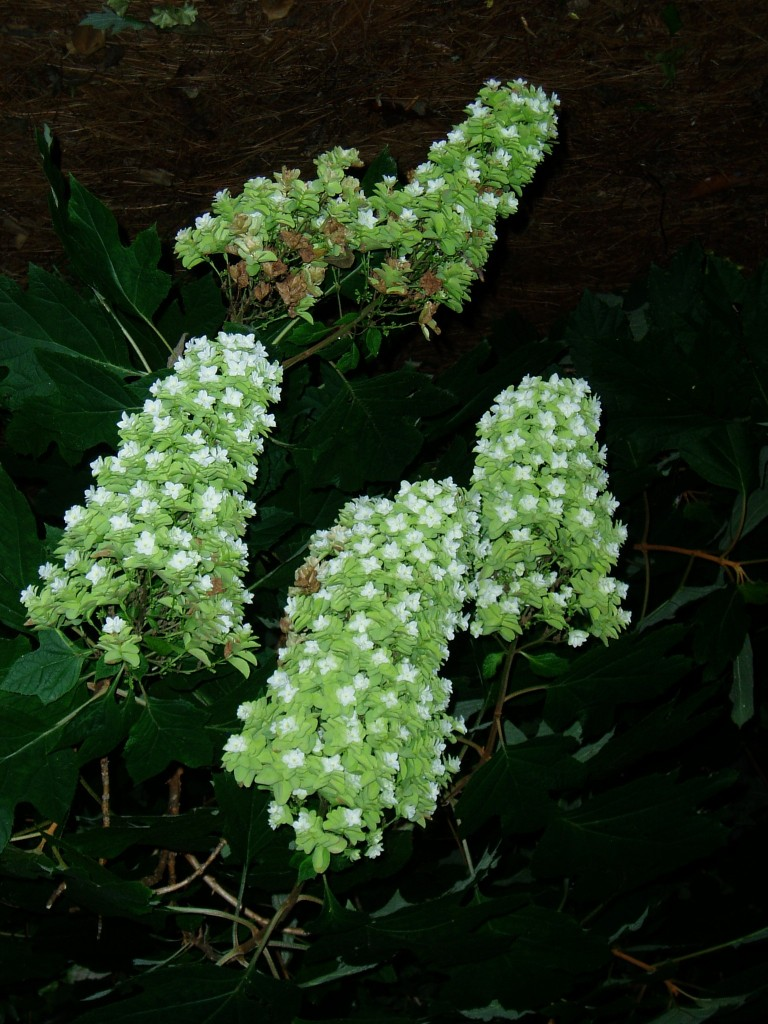The 'Snowflake' hydrangea boasts double or multiple florets typically over a long blooming period.