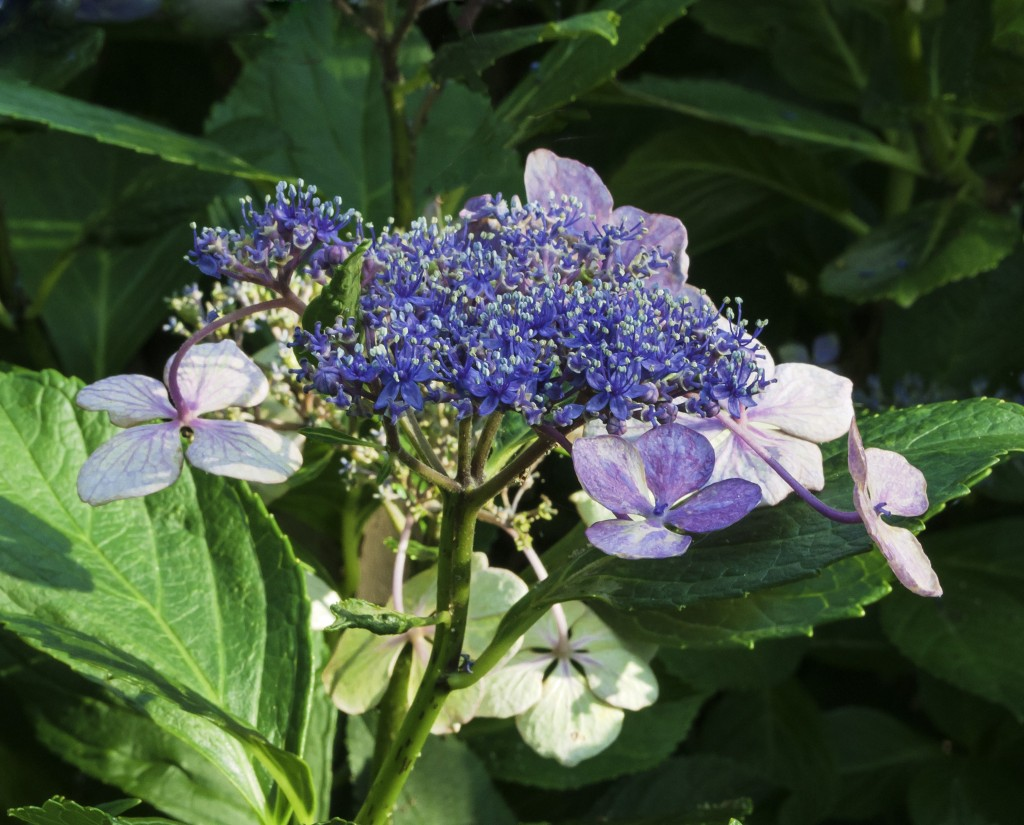 """The flat flowerhead of the lacecap hydrangea has a center core of fertile, subdued """"flowers"""" that are surrounded by outer rings of showy, sterile flowers"""