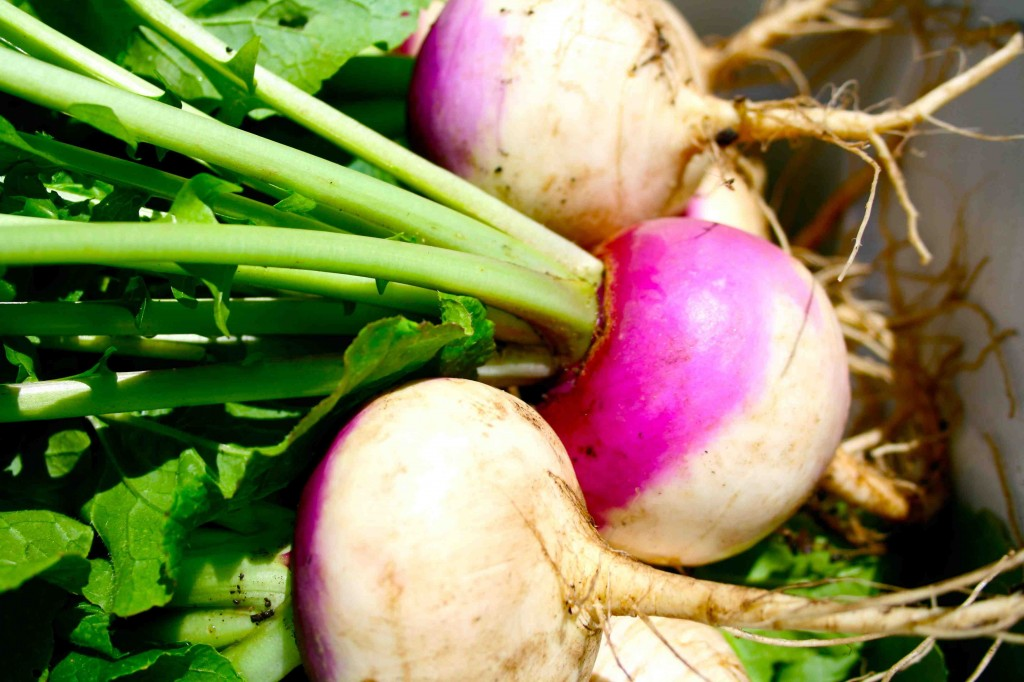 Purpletop White Globe turnips (Brassica rapa, family Brassica), heirloom variety, harvested at a good time... not too large, not too small, and with high-quality greens attached.