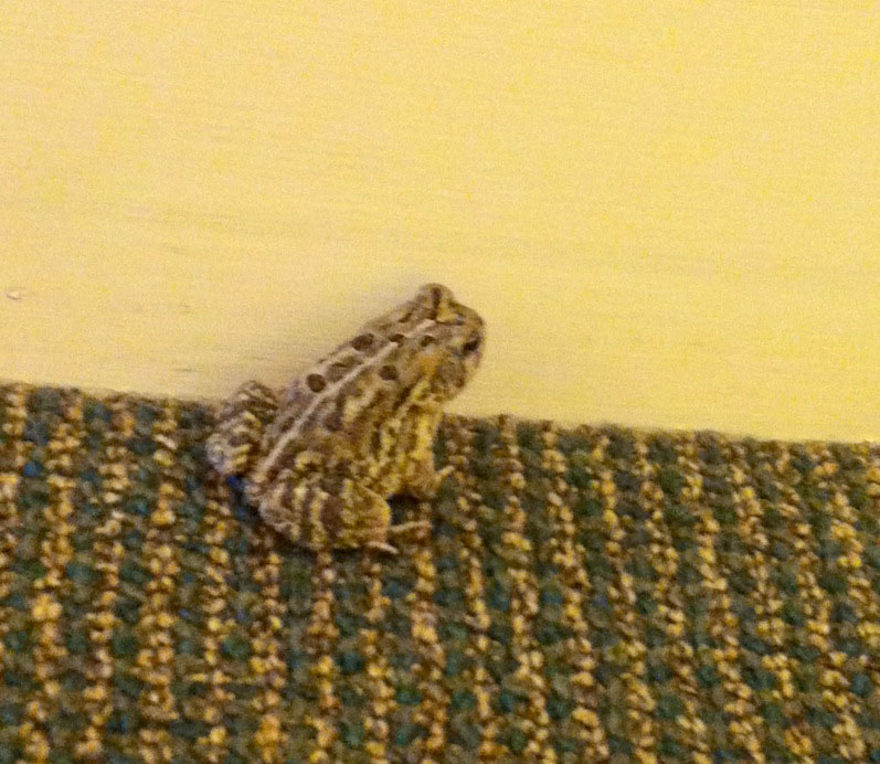 Toad camouflaging with the carpet!