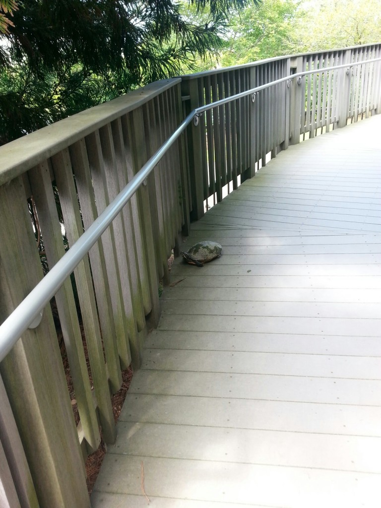 An Eastern River Cooter climbing the ramp to the Children's Garden Tree House.