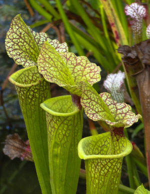 The pitchers of the Sarraceniaceae can be creamy white, rich purple, red or chartreuse, and eye-catching stripes, spots or veins make them distinctive.