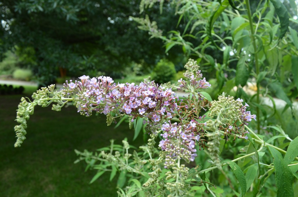 Butterfly bush  has arching canes that cascade downward.