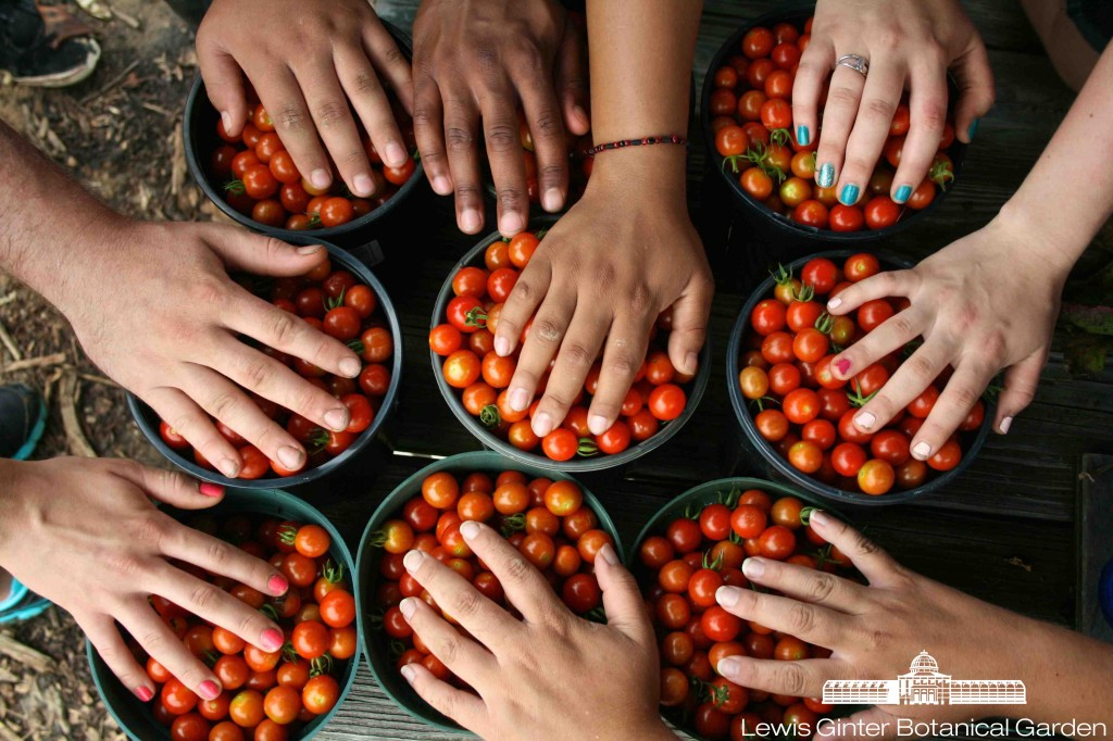 Volunteers from VCU's School of Social Work pause during a cherry tomato picking session.