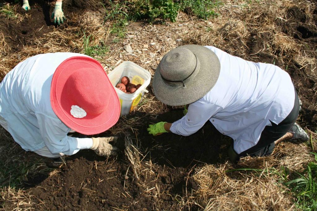 Volunteers harvest potatoes the FeedMore kitchen.