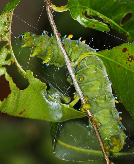 Cecropia caterpillar making its cocoon.